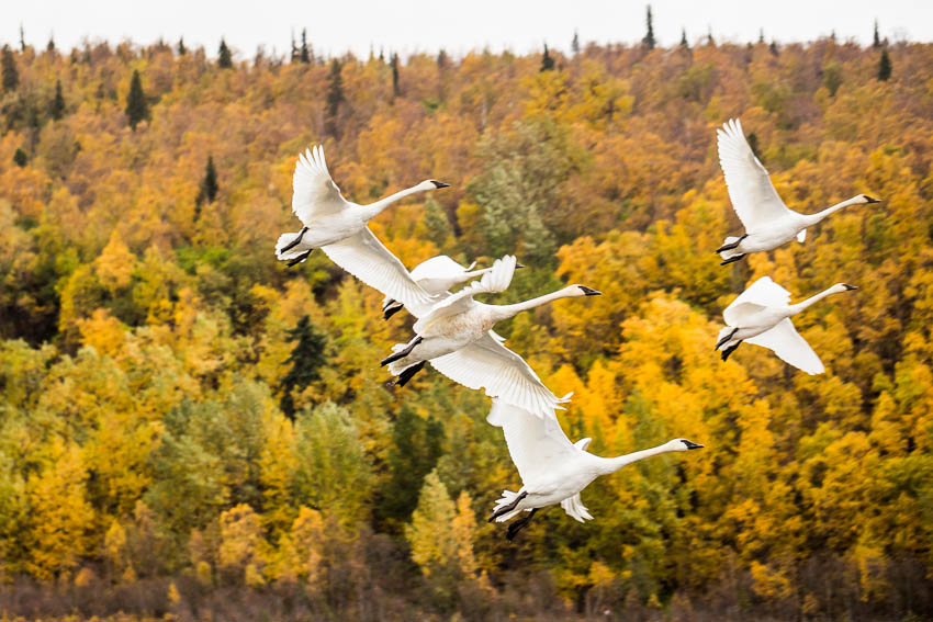 Trumpeter swans depart Anchorage's Potter Marsh for warmer climes