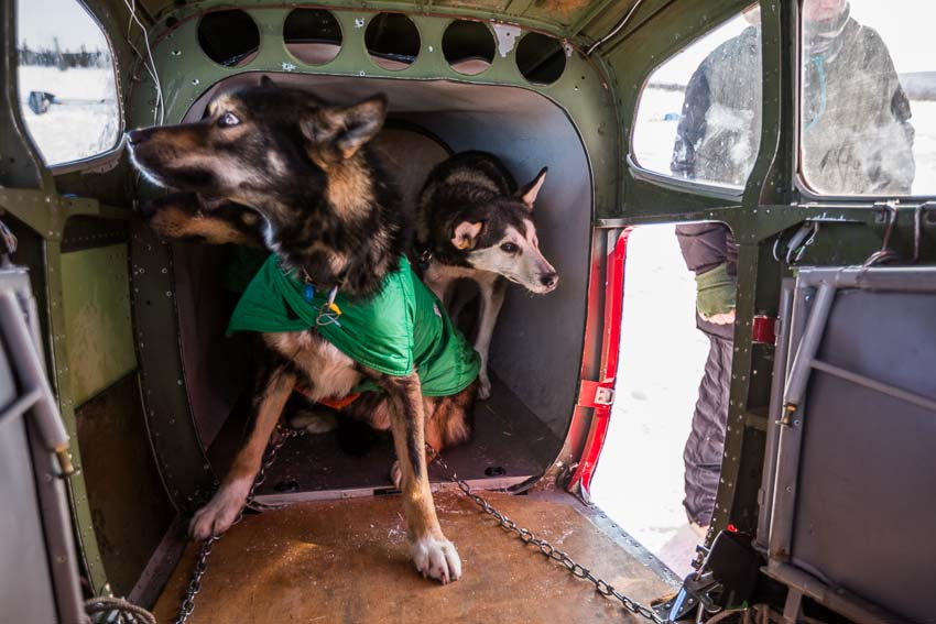 Dropped dogs get loaded into an airplane in Cripple. Dogs can be dropped for any reason by a musher at any checkpoint, and they will be cared for and transported back home by volunteer pilots. Mar 6, 2014